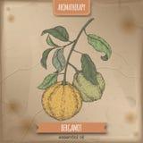 Citrus färg för den bergamiaaka bergamotfilialen skissar på tappningbakgrund stock illustrationer