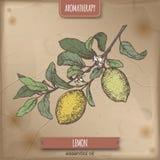 Citrus färg för den citronaka citronfilialen skissar på tappningbakgrund vektor illustrationer