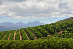 Citrus Farm - Orchard. Green citrus trees stretching over a hill with blue mountains in the background, cloudy day. Not in season, no blossoms or fruit royalty free stock photo
