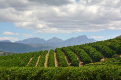 Citrus Farm - Orchard. Green citrus trees stretching over a hill with blue mountains in the background, cloudy day. Not in season, no blossoms or fruit stock photo