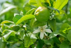 Citrus and flower on a lemon tree on a sunny day royalty free stock photography