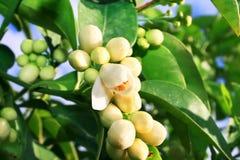 Citrus Flowers Stock Photo