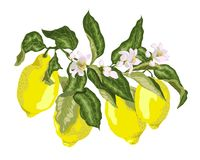 Citrus fruit branch with blooming flowers and lemons. Juicy green leaves with flowersr of pink tone colors vector illustration