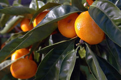 Citrus Fruit Growing Royalty Free Stock Photo
