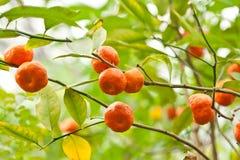 Citrus fruit on plant Stock Photos