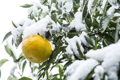 Citrus fruit with snow Royalty Free Stock Image