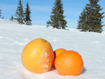 Citrus Fruit on Snow. Colorful citrus fruit - two oranges and grapefruit on snow, pine trees on background Royalty Free Stock Photo