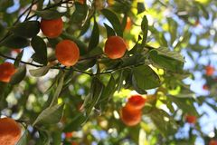 Citrus fruit tree branches from below. Orange fruit and vibrant green leaves in sunny California farming Stock Image