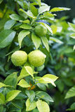 Citrus Fruit on the tree Royalty Free Stock Photo