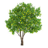 Citrus fruit tree isolated. lemon Stock Photos