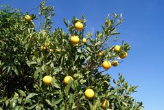 Citrus fruit tree Stock Images