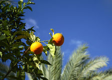 Citrus fruits. Tropical citrus fruits on a tree branch against deep blue sky Stock Photos