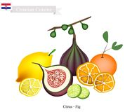 Citrus Fruits And Fig, The Famous Fruit In Croatia Royalty Free Stock Photos