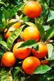 Citrus fruits Background - Bunch of ripe Orange tangerine   hang Stock Photos