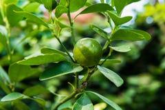 Citrus fruits grow Stock Image