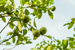 Citrus fruits grow Royalty Free Stock Photos