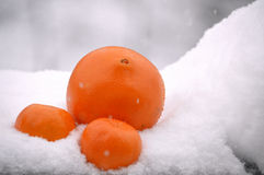 Citrus fruits isolated on snow. Close-up image of exotic citrus fruits: one big ripe orange with two mandarins laying together in snow while snowflakes are Royalty Free Stock Images