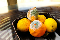 Citrus fruits mold Stock Image