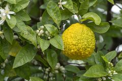 Citrus fruits of sour orange bergamot riping on blossoming thee. Close up royalty free stock images