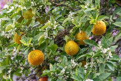Citrus fruits of sour orange bergamot riping on blossoming thee. Close up royalty free stock photography