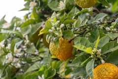 Citrus fruits of sour orange bergamot riping on blossoming thee. Close up royalty free stock image