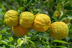 Citrus fruits of sour orange bergamot riping on thee. Close up stock image