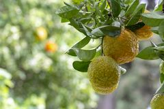 Citrus fruits of sour orange bergamot riping on  thee. Close up stock photography