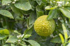 Citrus fruits of sour orange bergamot riping on  thee. Close up stock image