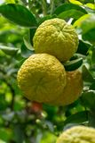 Citrus fruits of sour orange bergamot riping on thee. Close up royalty free stock photography