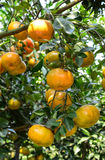 Citrus fruits on the tree in Ben Tre, Vietnam Royalty Free Stock Photos