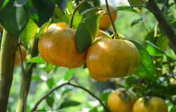 Citrus fruits on the tree in Mekong Delta, Vietnam Stock Images