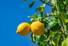 Citrus fruits, yellow lemons at orchard. Organic lemon fruits hanging on lemon tree with sunny blue sky background royalty free stock photography