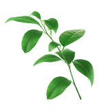 Citrus green leaves isolated on white background Royalty Free Stock Photo