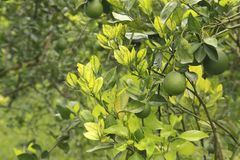 Free Citrus Greening HLB Huanglongbing Yellow Dragon Diseased Leaves And Fruits Stock Images - 136722894