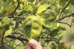 Free Citrus Greening HLB Huanglongbing Yellow Dragon Diseased Leaves And Fruits Stock Photo - 136723140