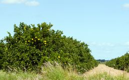Citrus grove Stock Image
