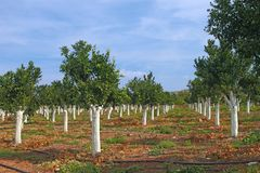 Citrus grove Stock Photography