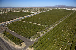 Citrus Groves Royalty Free Stock Photo