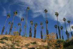 Citrus Historic Park. Palm trees at California Citrus State Historic Park, Riverside Stock Image