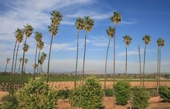 Citrus Historic Park. Palm trees at California Citrus State Historic Park, Riverside Royalty Free Stock Image