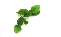 Citrus hystrix green leaf. Isolated on the white back ground Stock Photos