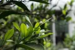 Citrus knopp-citrus reticulata Blanco Royaltyfria Bilder