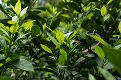 Citrus knopp-citrus reticulata Blanco Fotografering för Bildbyråer