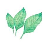 Citrus leaf watercolor Stock Photos