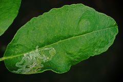 Citrus leafminer ;insect pest Stock Images