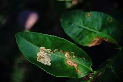 Citrus leafminer ;insect pest Royalty Free Stock Photo