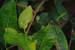 Citrus leafminer; krypplåga Royaltyfri Bild