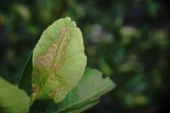 Citrus leafminer; krypplåga Fotografering för Bildbyråer
