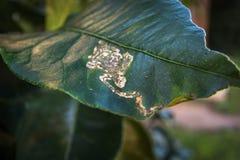 Citrus Leafminer skada till sidor för citronträd royaltyfria bilder