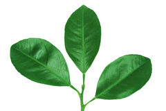 Citrus leaves. Royalty Free Stock Photo
